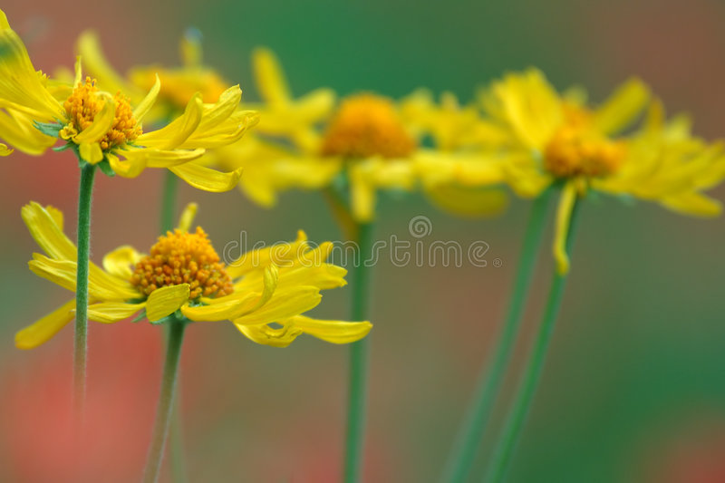 Daisies And Paintbrush Royalty Free Stock Image