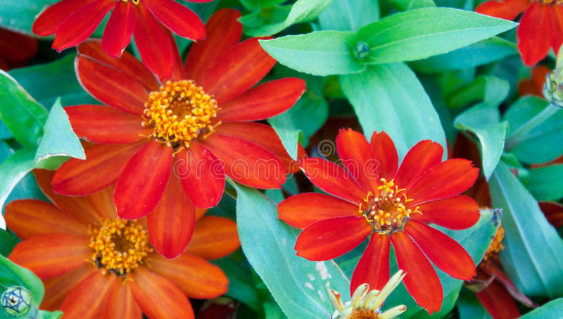 Download Daisies stock image. Image of bright, summer, blossom - 76095451