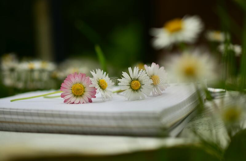 Daisies placed on a notebook royalty free stock photography