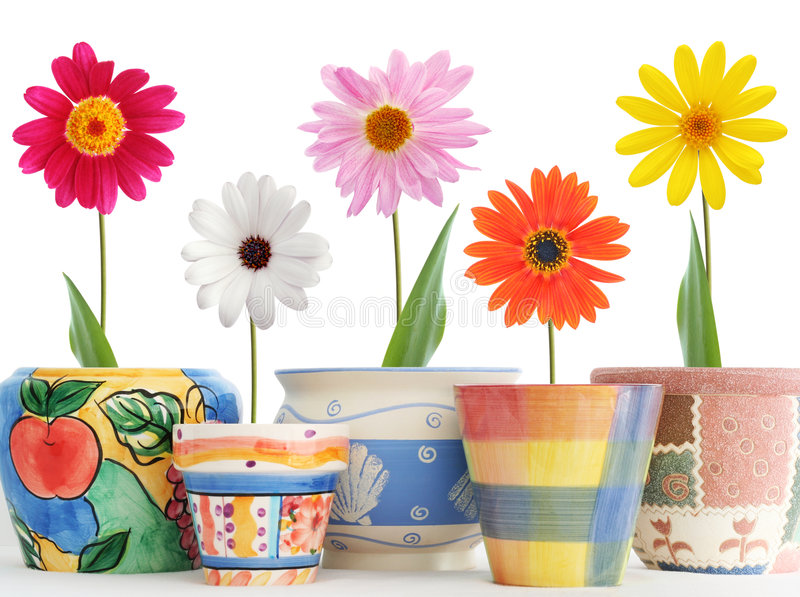 Daisies in pots royalty free stock image