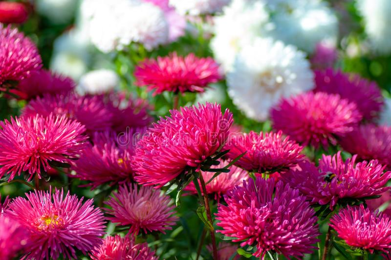 Daisies roxas e brancas aparecem no início do outono imagem de stock royalty free