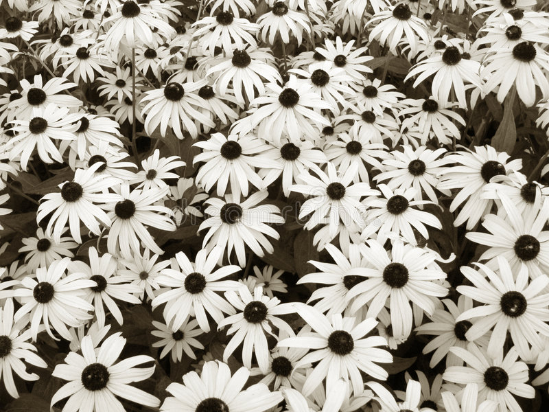 Download Daisies in sepia stock image. Image of white, outdoors - 193797