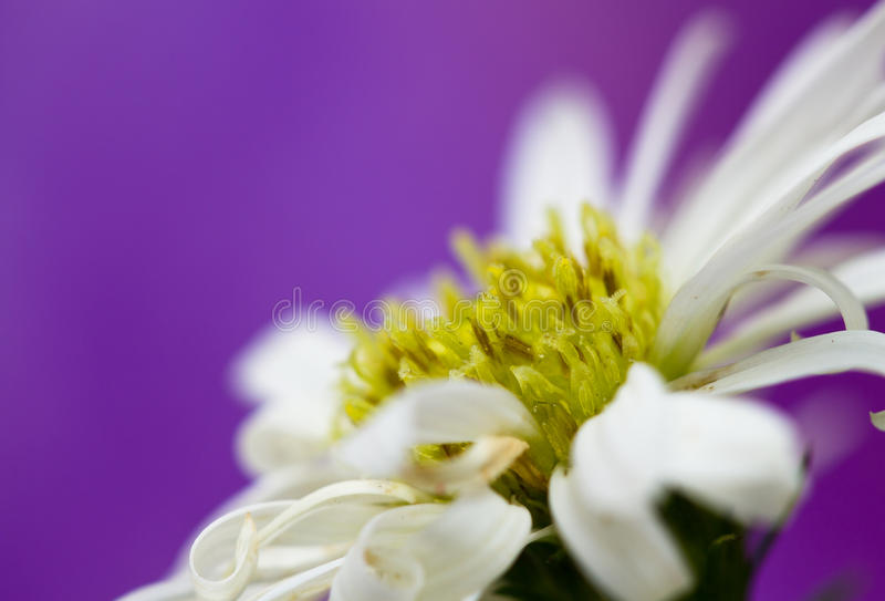 Daisies series III stock images