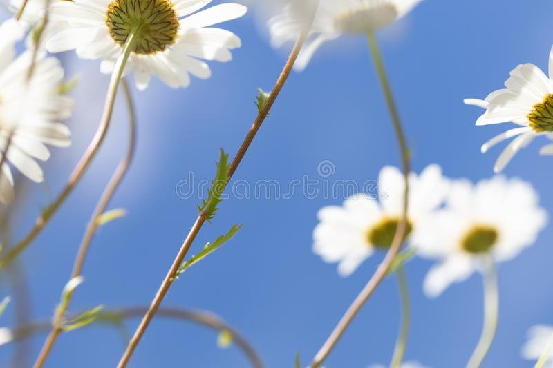 Daisies against a bright blue sky background stock images