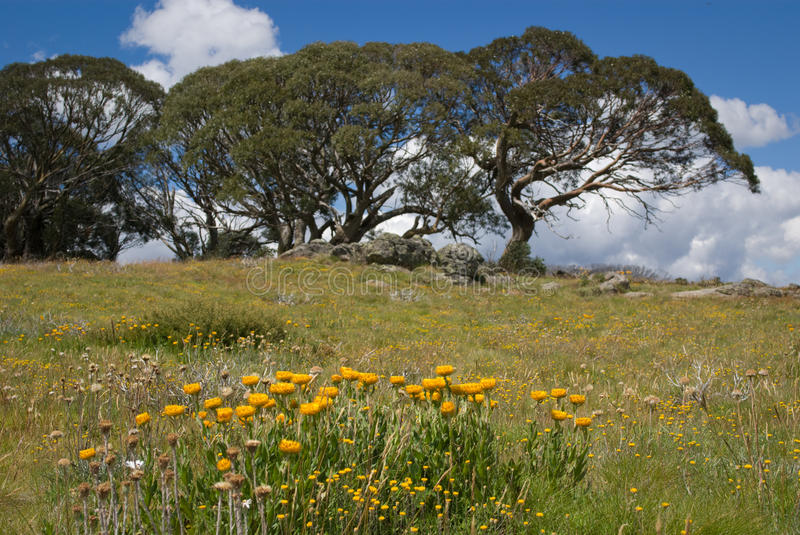Daisies and snow gums