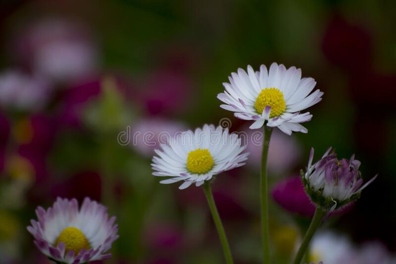 Daisies are sometimes called day's eye because they open petals at dawn and close them at night. stock image