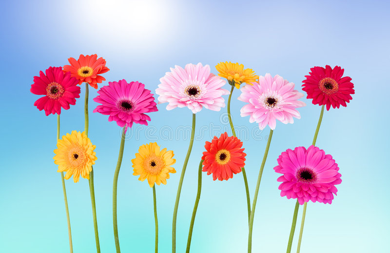 Daisies in the summertime. Fresh daisies in the summer - blue sky background royalty free stock photography