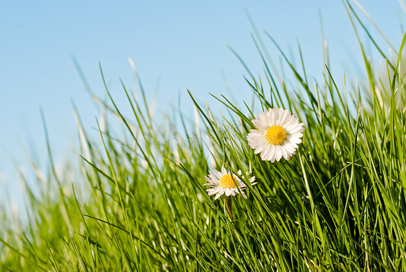 Download Daisies in the sun stock image. Image of bloom, daisy - 4774695