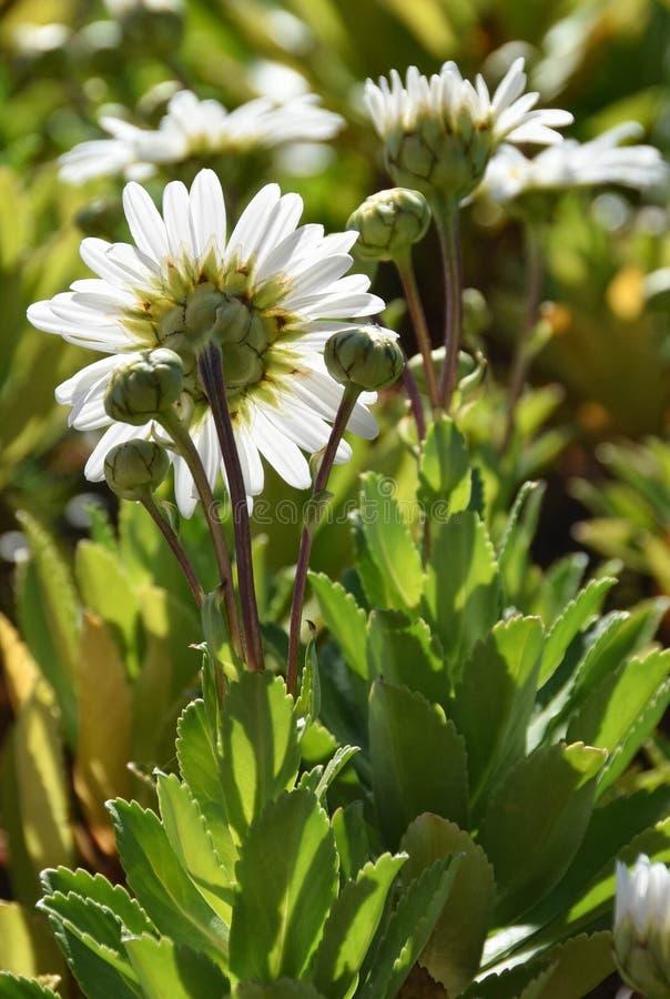 Daisies in the sun fotografia stock