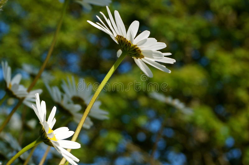 Daisies on a sunny day royalty free stock image