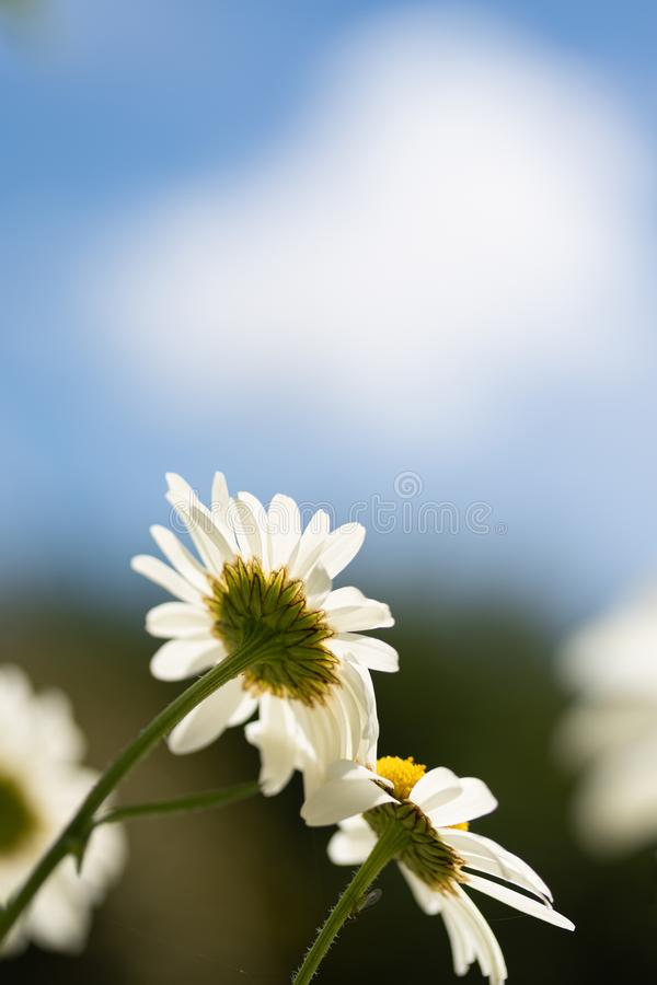 Daisies viewed from below on blue sky royalty free stock photos