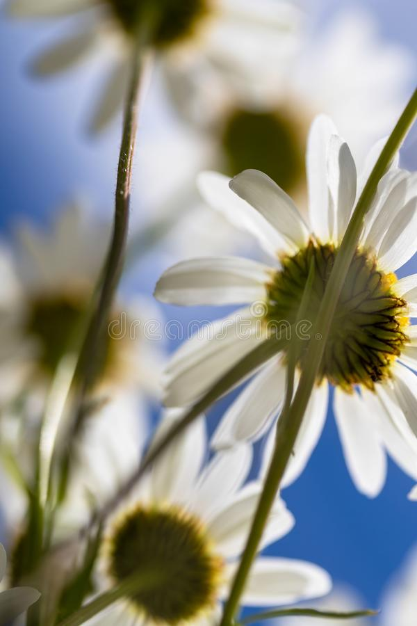 Daisies viewed from below on blue sky stock images
