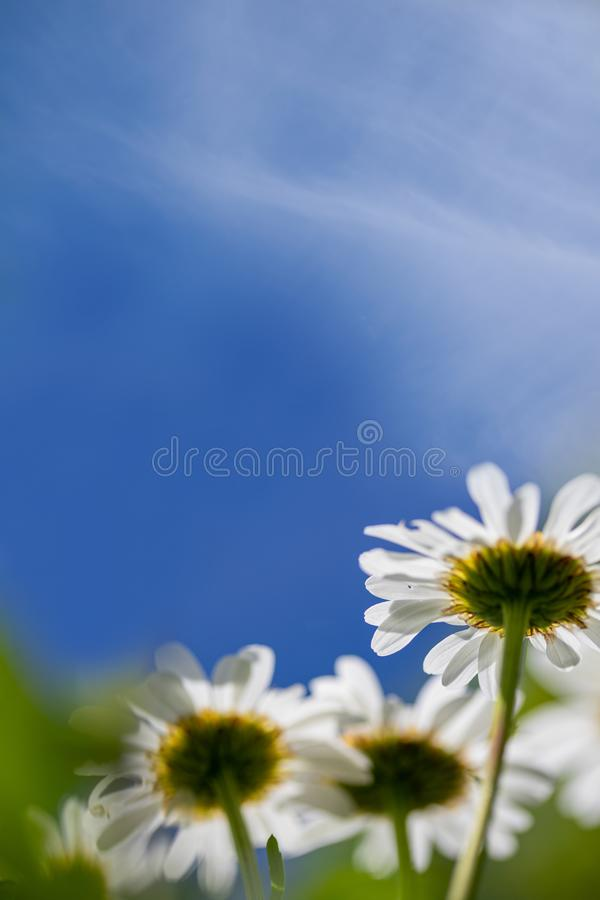 Daisies viewed from below on blue sky stock image
