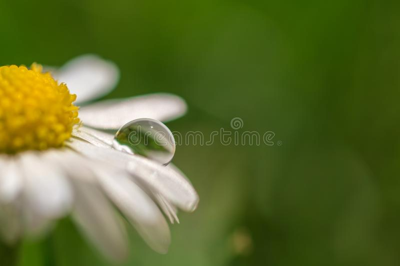 Daisies with water drops with copy space as a template royalty free stock photo