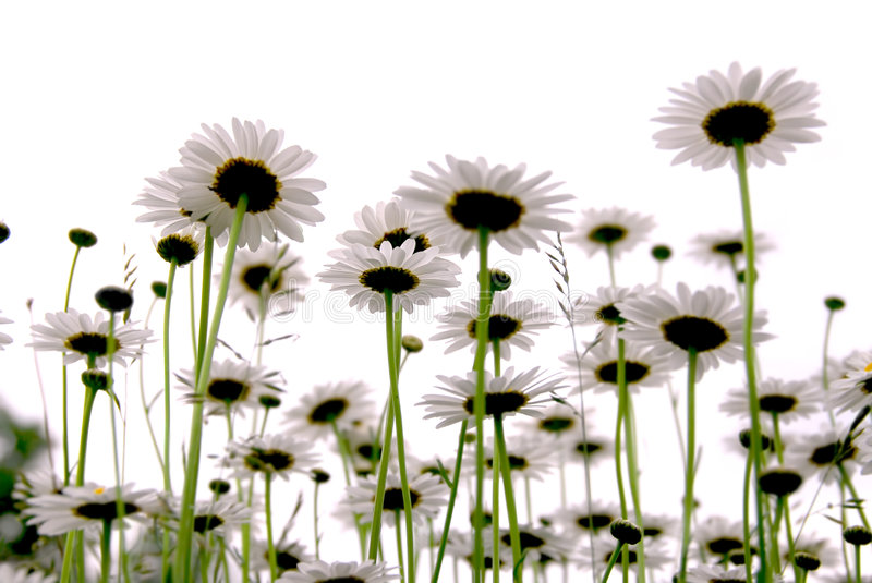 Daisies on white royalty free stock image