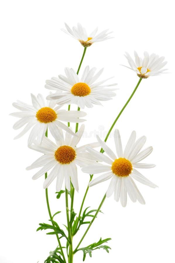 Daisies on white background royalty free stock image