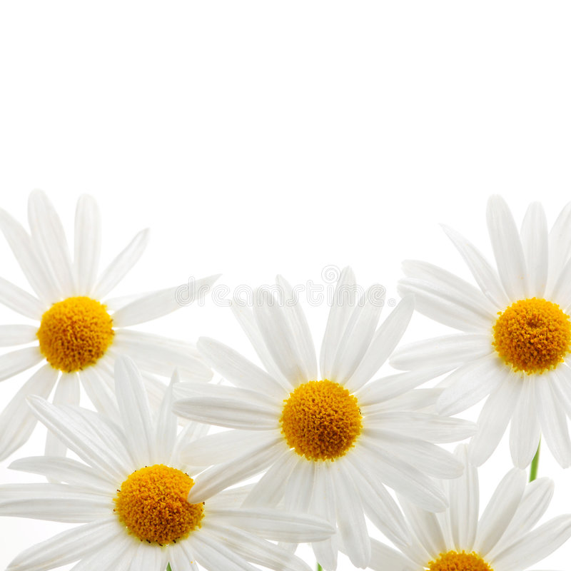 Daisies on white background stock image