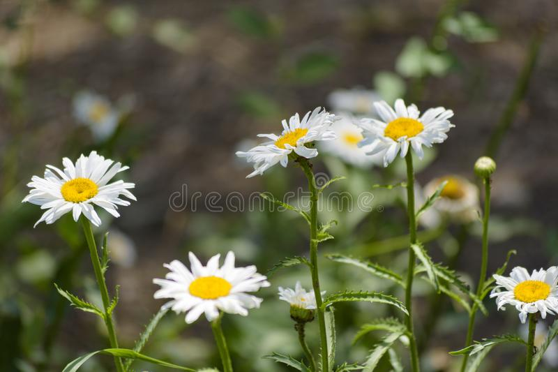 Daisies white funny. Is very good for greeting card themes, desktop Wallpapers, textile production, and so on stock photography