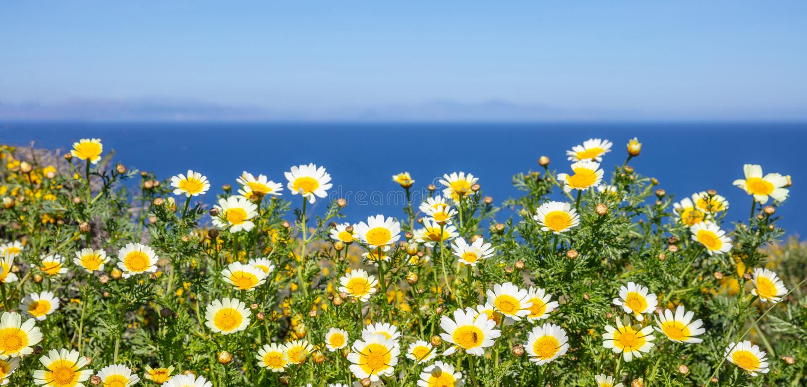 Daisies wild flowers yellow white color field, background royalty free stock images
