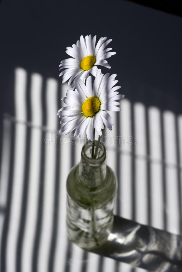 Daisies By A Window With Blinds Royalty Free Stock Image