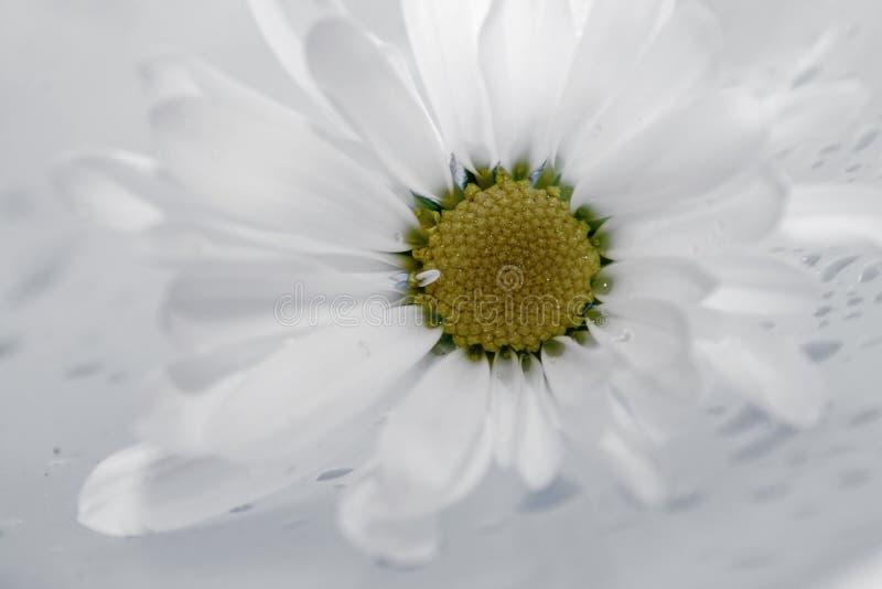daisies16 arkivbild