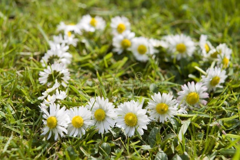 daisy łańcuszkowa zdjęcia royalty free