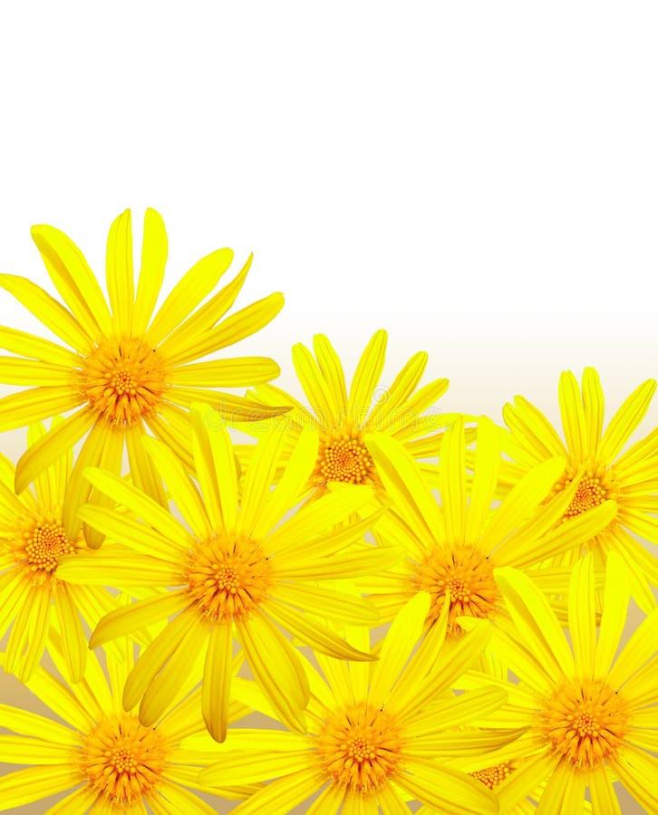 daisy żółte zdjęcie stock