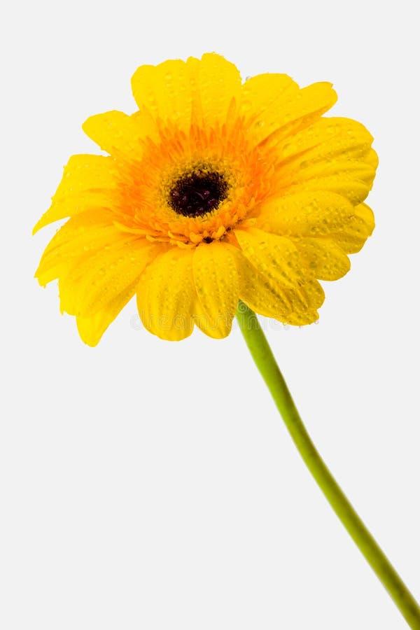daisy żółty