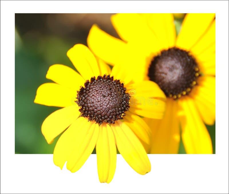 Daisy żółty Zdjęcie Royalty Free
