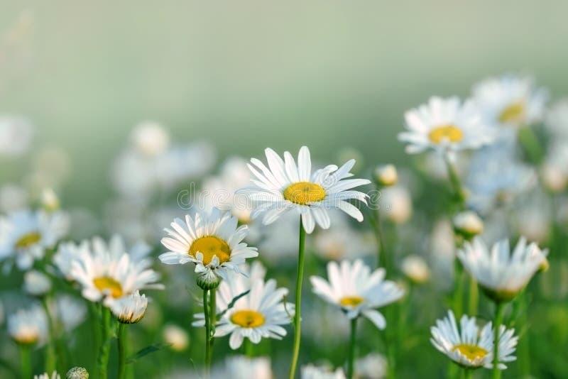 Daisy σε ένα λιβάδι και έναν κήπο στοκ εικόνες