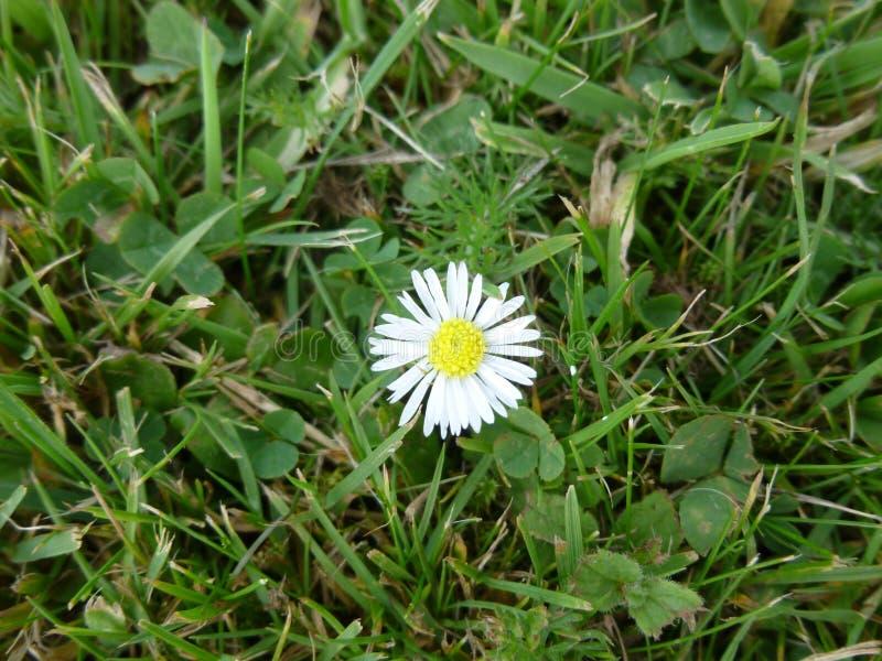 Daisy στη χλόη στοκ εικόνες με δικαίωμα ελεύθερης χρήσης