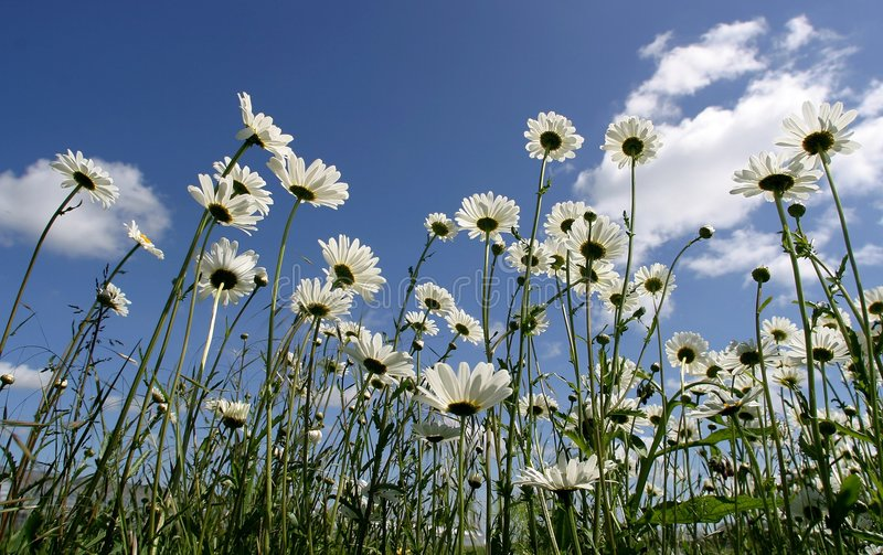 Download Daisy Stock Images - Image: 9704