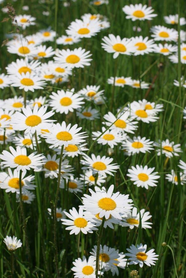 Free Daisy 1 Stock Image - 5323971