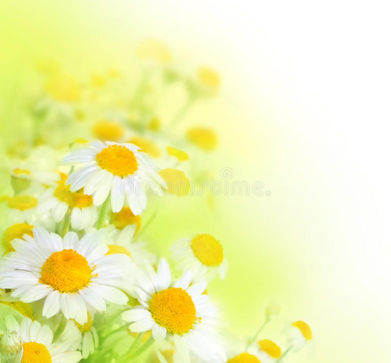 Free Daisy Royalty Free Stock Images - 11984079
