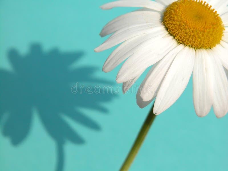 Download Daisy obraz stock. Obraz złożonej z cięcie, wiosna, kwiatostan - 134561