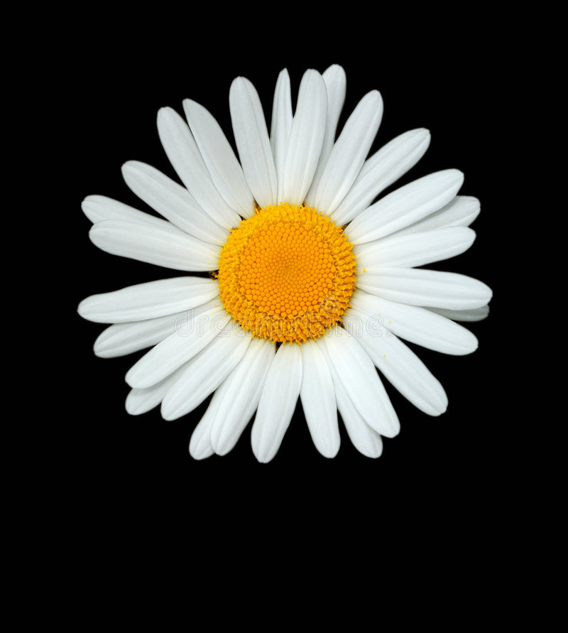 The Daisy royalty free stock images