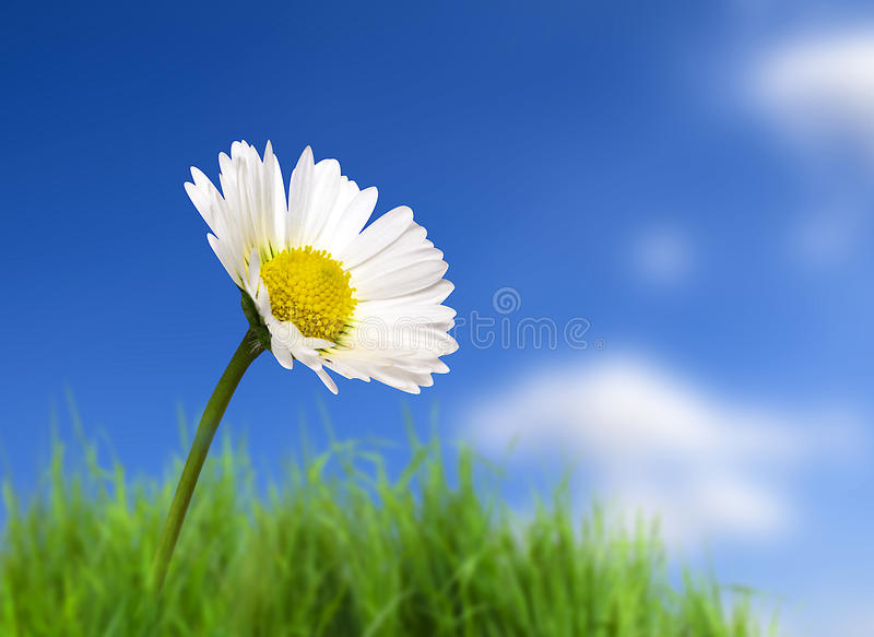 Download Daisy stock photo. Image of green, fresh, nature, plant - 14152740