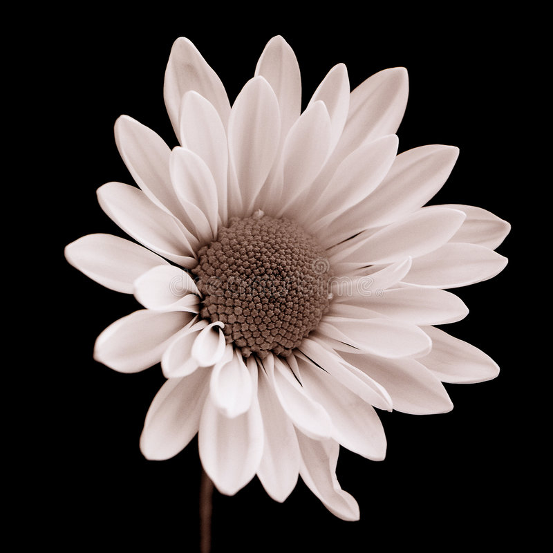 Download Daisy stock photo. Image of pure, black, nature, plant - 143574