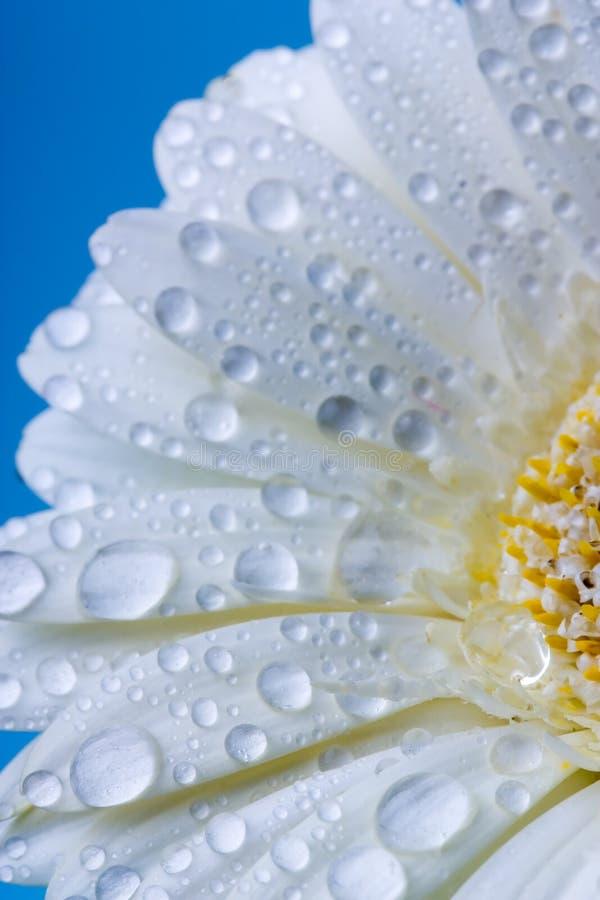 Daisy stock fotografie