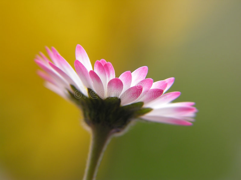 Download Daisy stock image. Image of garden, spring, close, natural - 167863