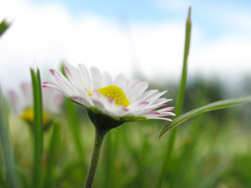 Download Daisy Royalty Free Stock Images - Image: 176119
