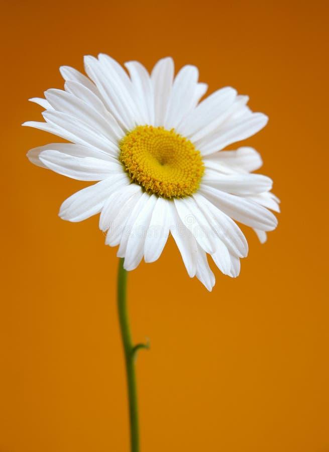 daisy obraz royalty free