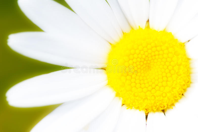 Daisy. White daisy on green background stock images