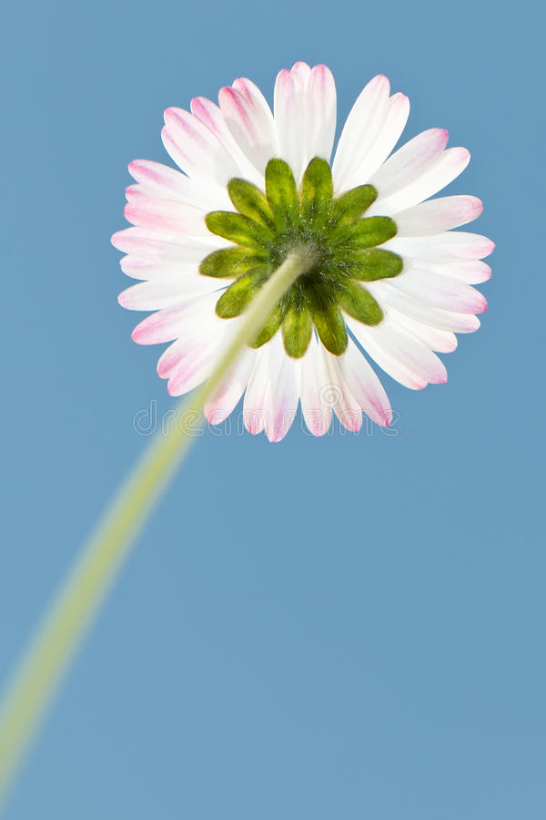 Daisy. Blossom of a daisy from the ground against the blue sky royalty free stock photography