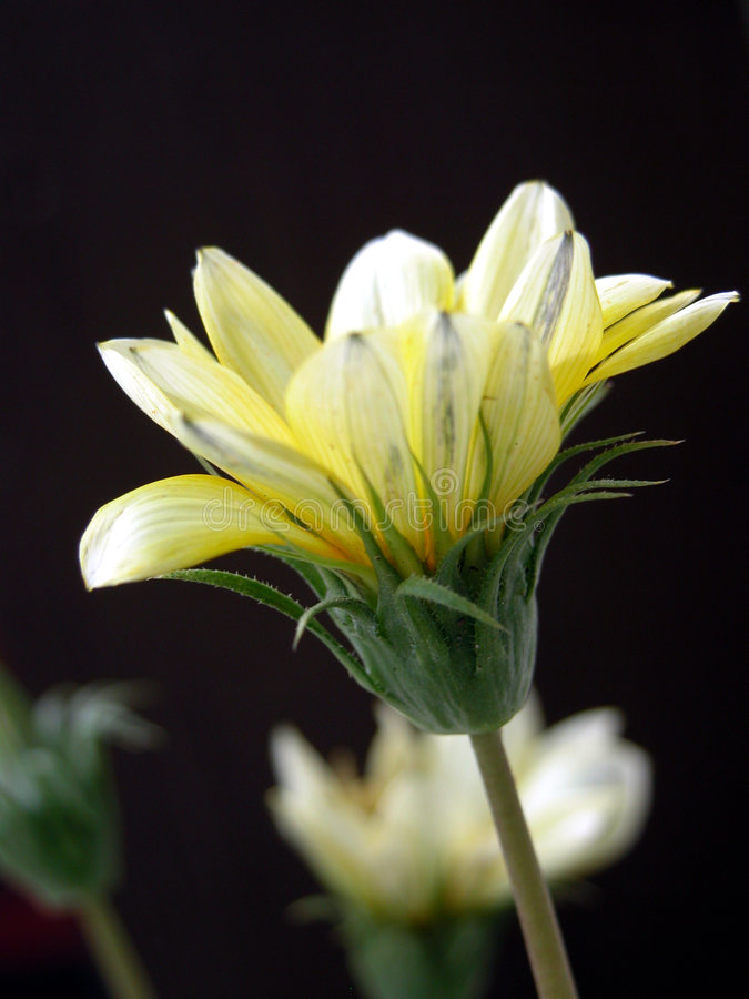 Download Daisy 2 Royalty Free Stock Photography - Image: 607