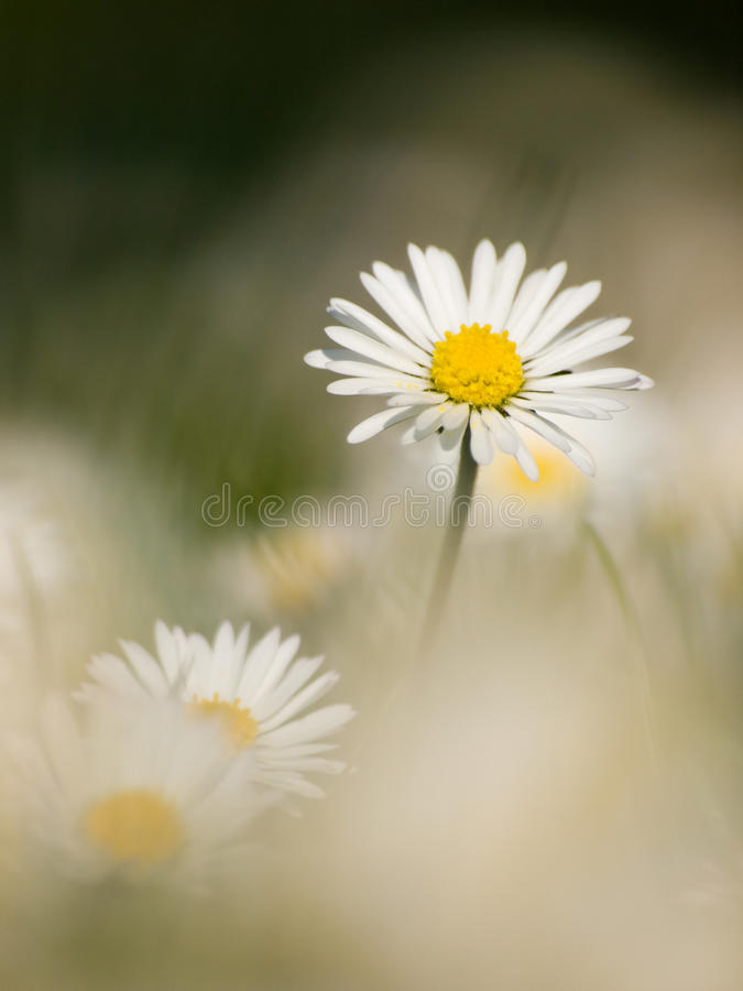 Daisy. Closeup of the daisy with shallow depth of field stock photo