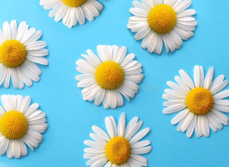 daisy, obraz royalty free