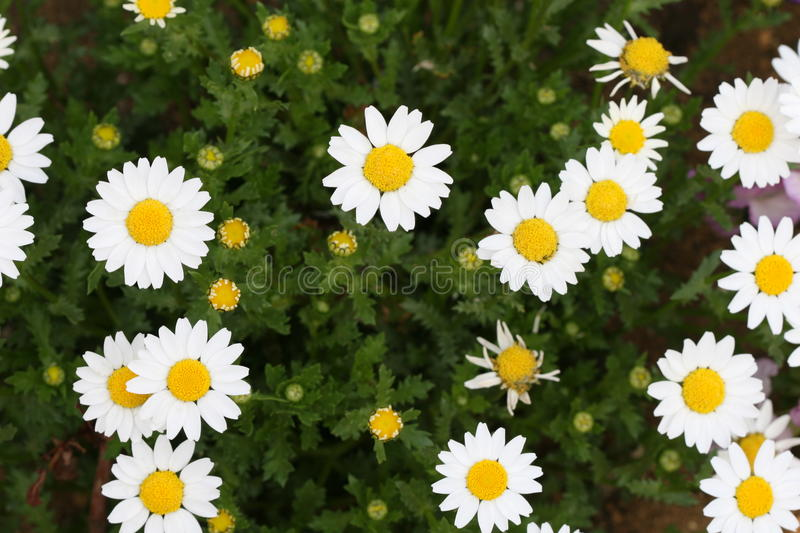Download Daisy Stock Photography - Image: 20839052
