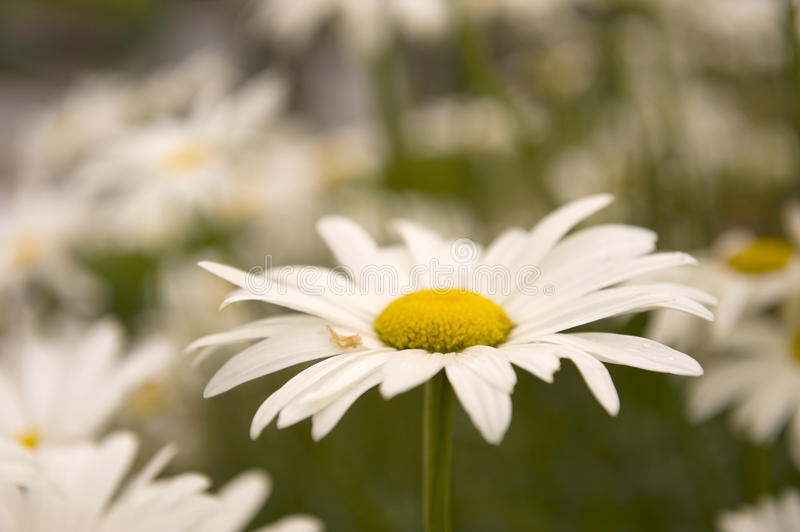 Download Daisy stock photo. Image of daisy, white, outside, flower - 20861816