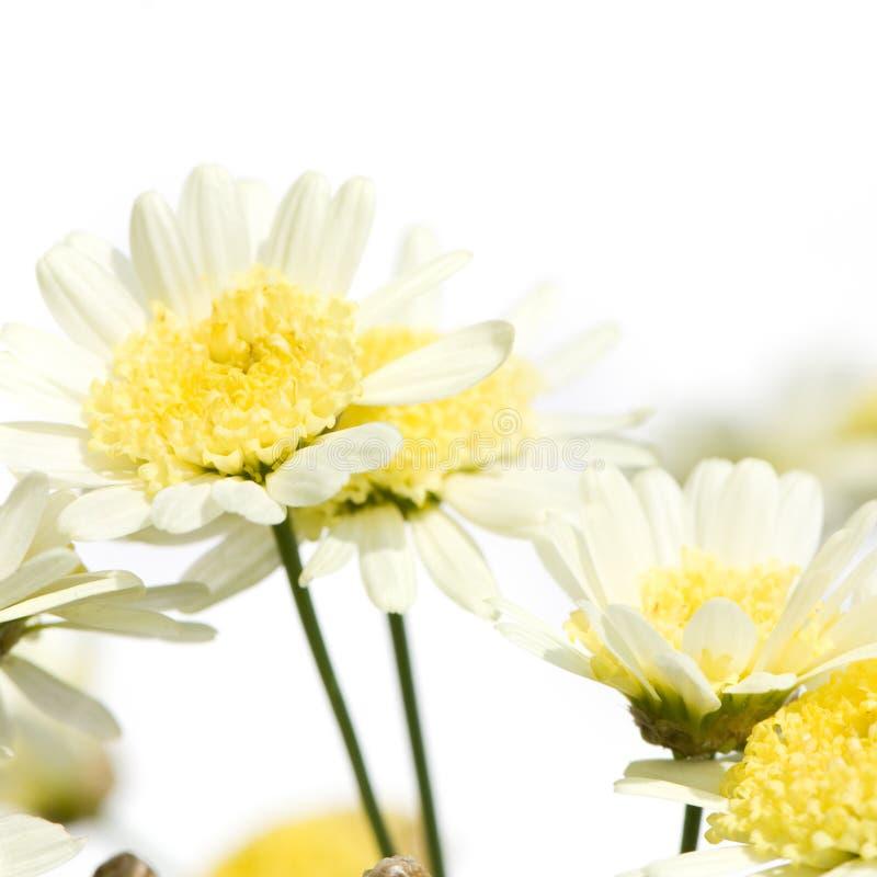 daisy obrazy royalty free